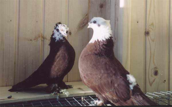 БлагоБлагодарненские бойные голубий