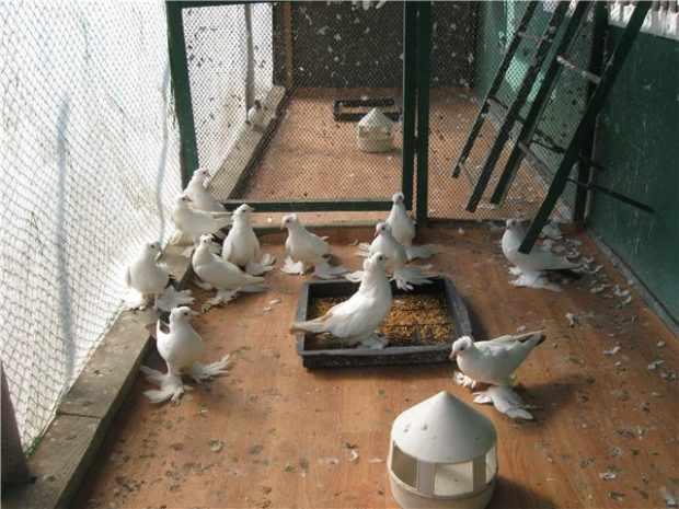 Содержание бойных голубей в вольере