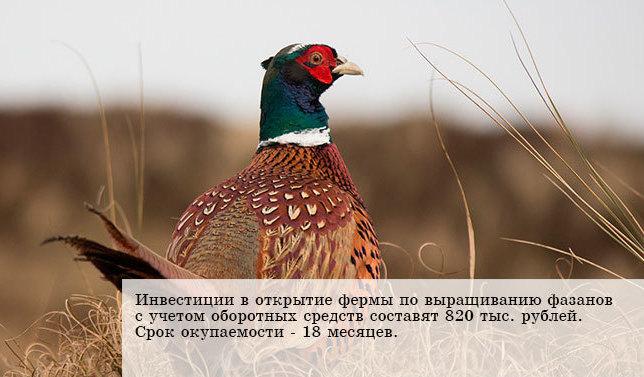 Окупаемость разведения фазанов - 1,5 года