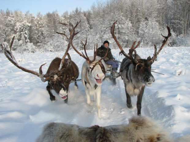 Гонки на северных оленях