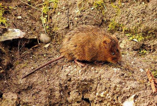 Водяная крыса намного меньше ондатры