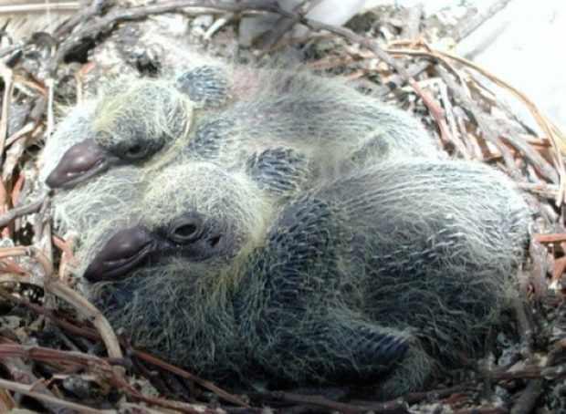 Гнездо дикого сизаря с двумя птенцами
