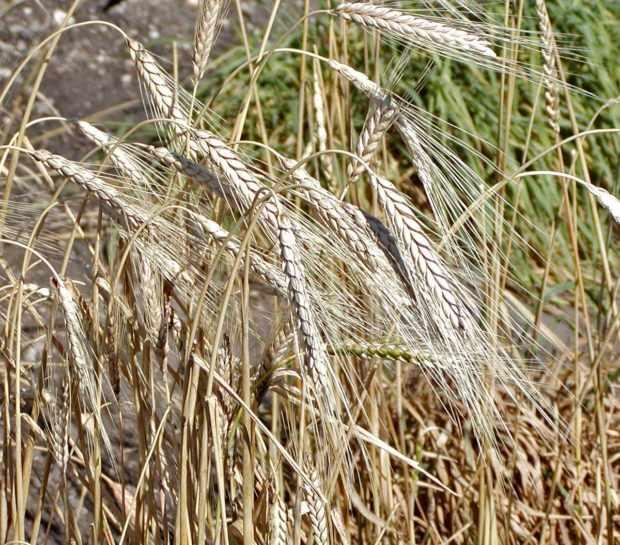 Камут в поле