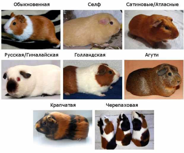 Популярные короткошерстые породы