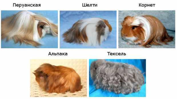 Самые популярные породы длинношерстных свинок