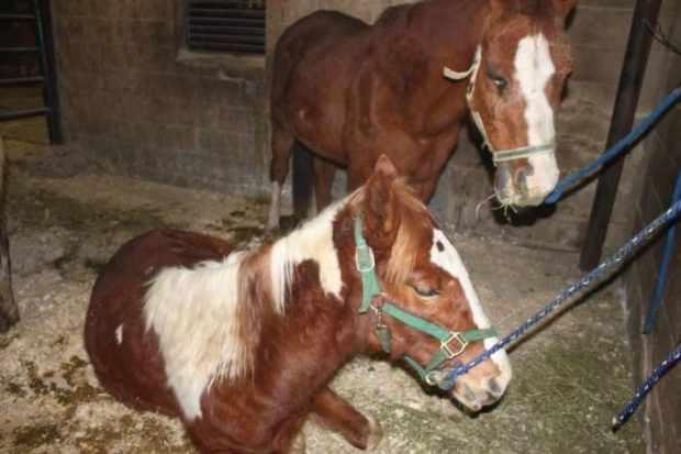 Очень старые лошади в работе не используются