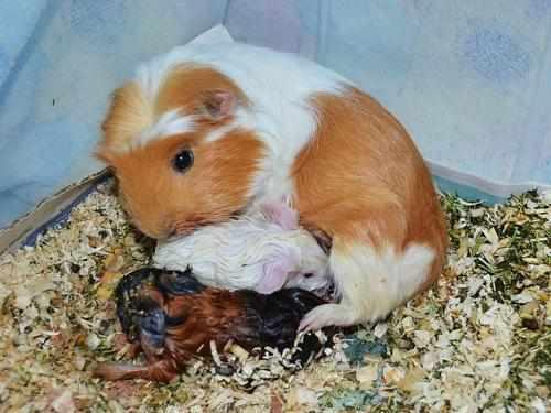 Роды у морской свинки