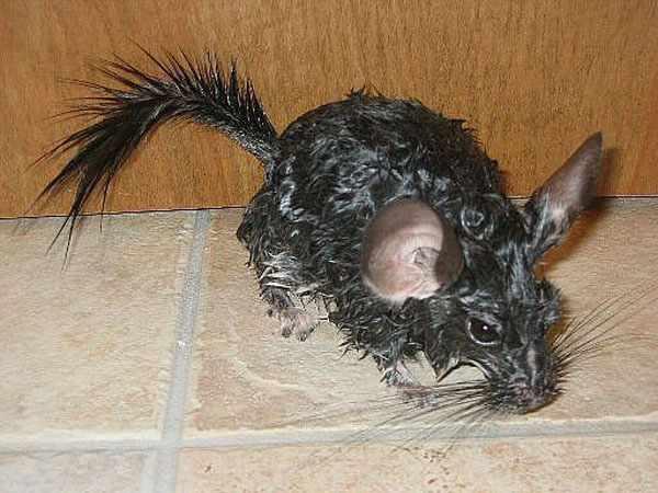 Шиншилла сердится после купания