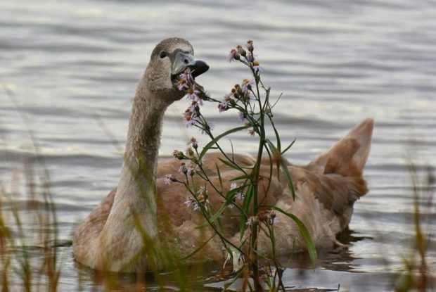 Молодой лебедь объедае прибрежные т растения