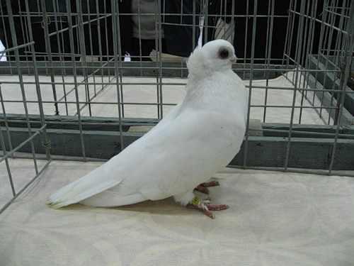 Орловский турман белого цвета