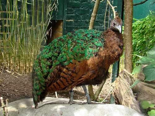 Редкий вид - конголезский павлин