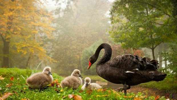 Лебедь с птенцами на пастбище