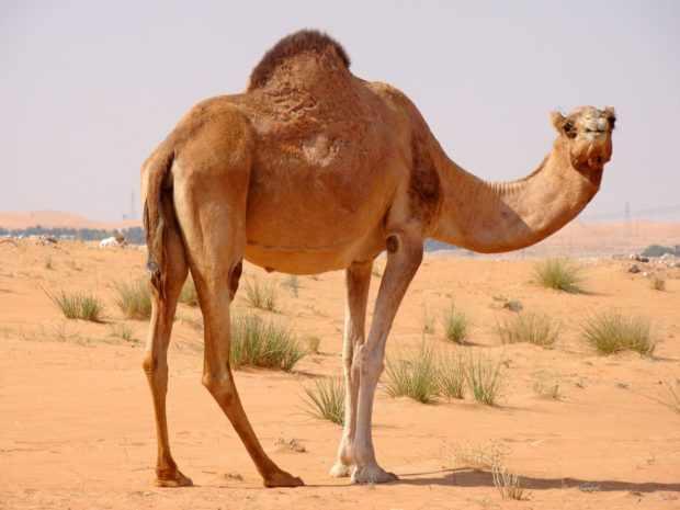 Одгогорбый верблюд - дромадер