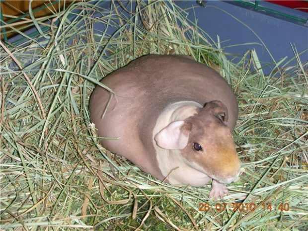 Беременная свинка скинни (лысая)