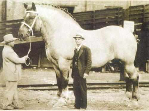 Биг Джейк першенонской породы - самая большая лошадь