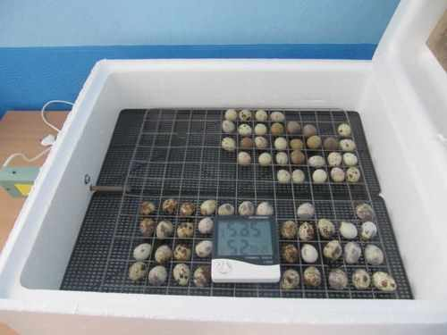 Закладка перепелиных яиц в инкубатор Наседка