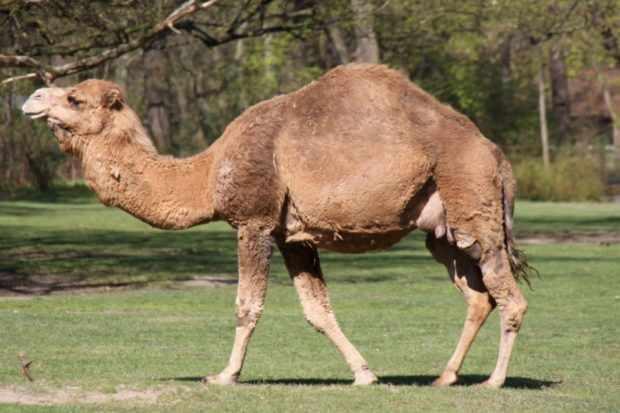 Самка нара верблюда