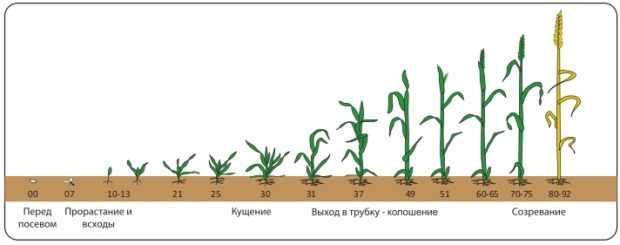 Фазы развития пшеницы
