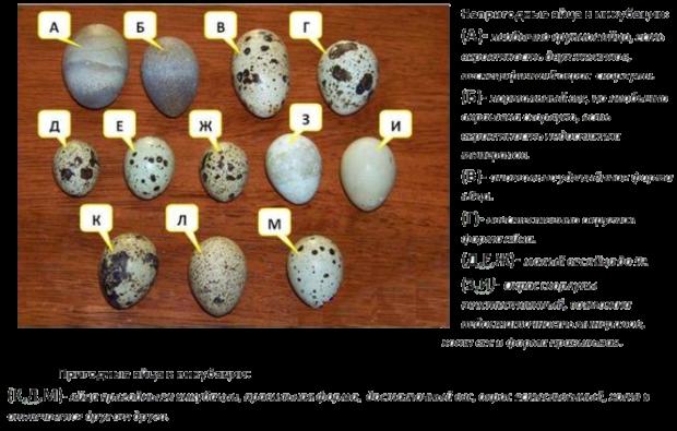 Перепелиные яйца - выбор