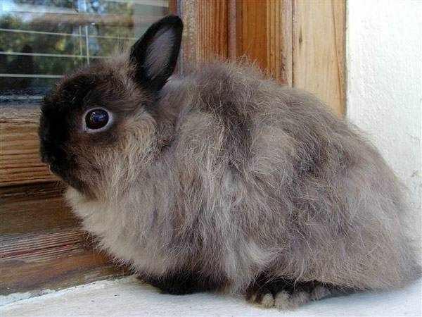 Американский польский мини кролик дымчатый