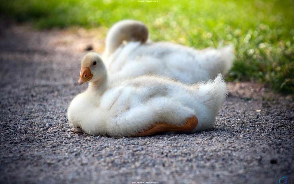 Подрощенные гусята