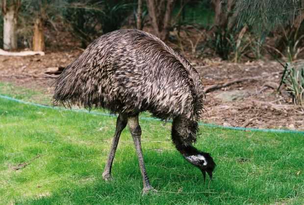 Австралийский Эму