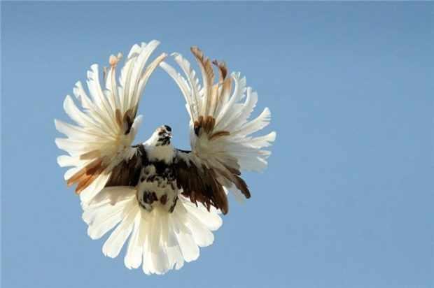 Серпастый бокатый голубь