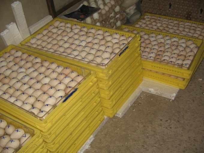 Лишние яйца индюков можно продавать