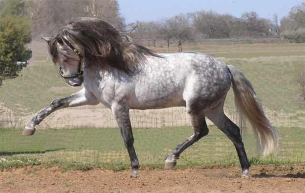 Лошадь серой в яблоках масти