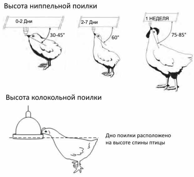 высота установки поилок для цыплят