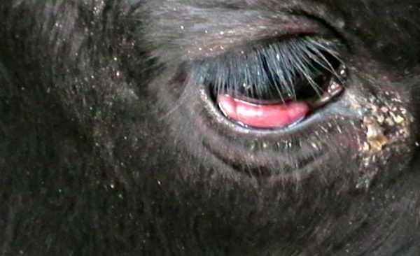 Лейкоз коров - сиптом