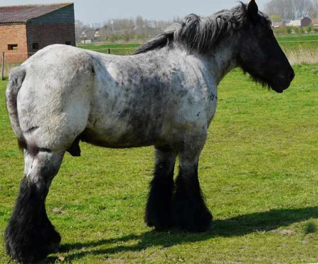 Першеронский конь тяжеловоз