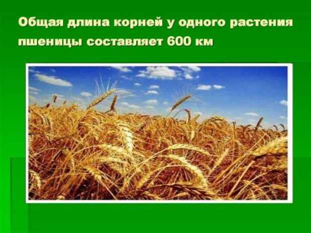 Длина корней пшеницы