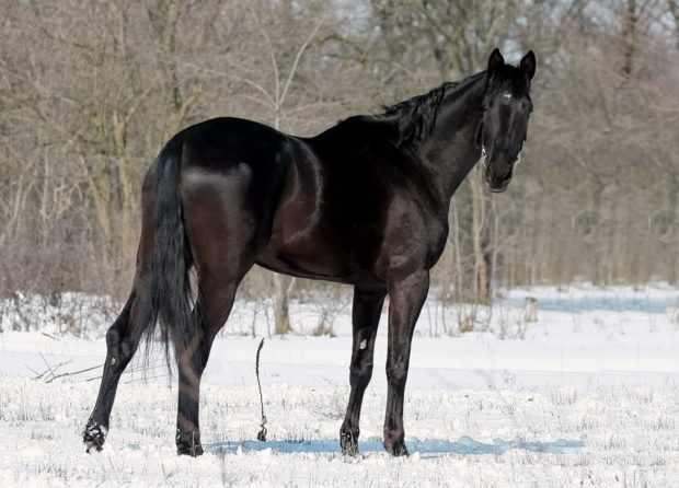 Караковая лошадь с подпалинами