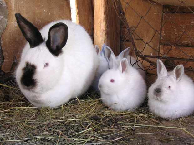 Кролики калифорнийцы в клетке