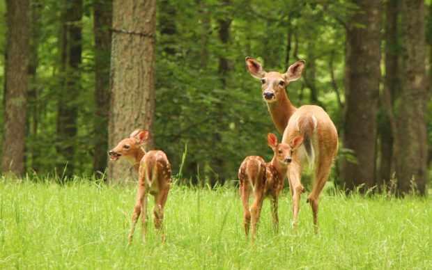 Самка пятнистого оленя с телятами