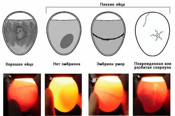 Дефекты яиц