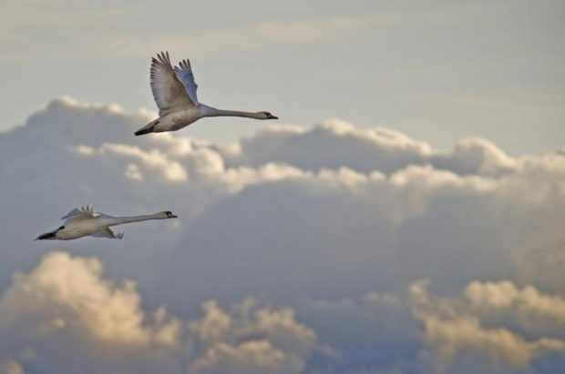 Первая миграция молодых лебедей