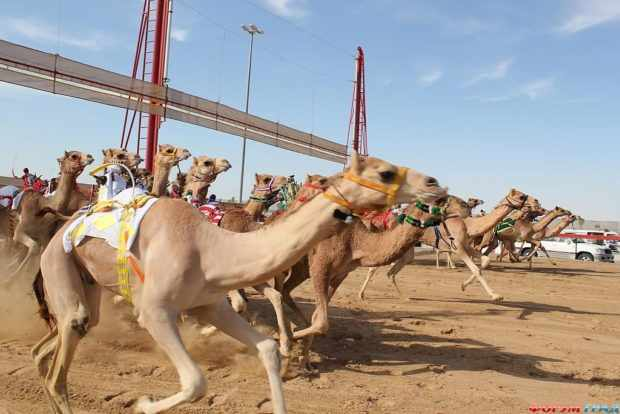 Гонки на верблюдах очень популярны на Востоке