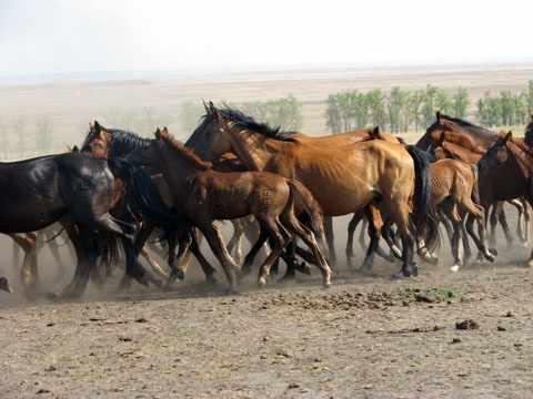 Табун казахских степных коней