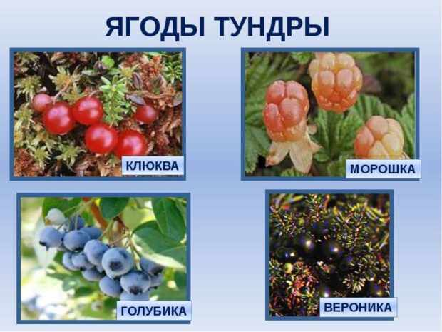 Тундровые ягоды - основа рациона