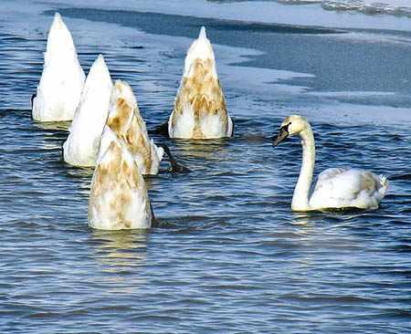Лебеди кормятся со дна