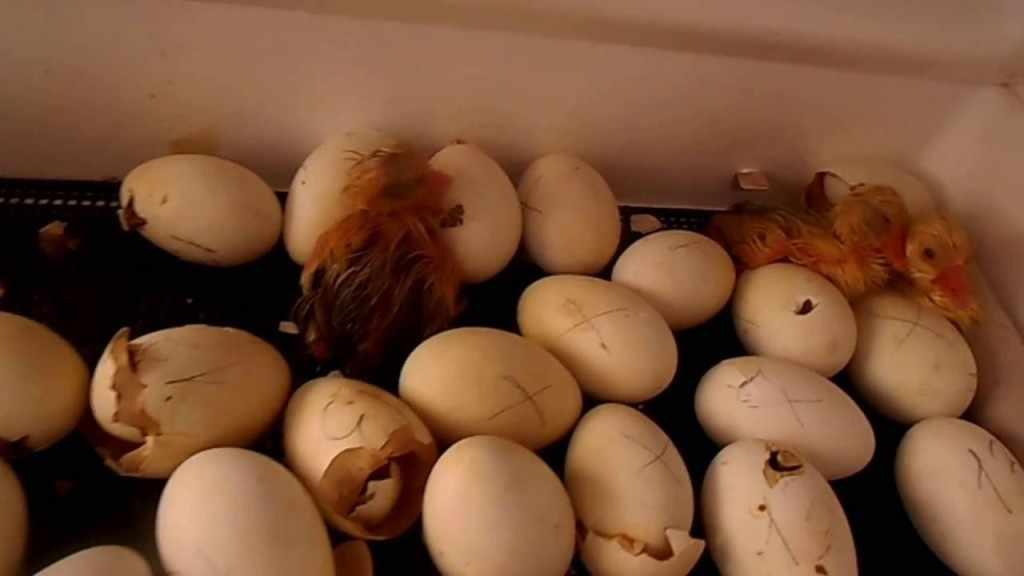 Наклевывание яиц