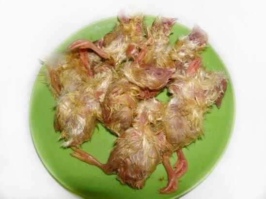 Суточные цыплята для хорьков