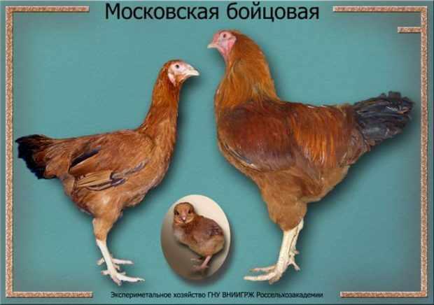 Московские бойцовские куры и цыпленок