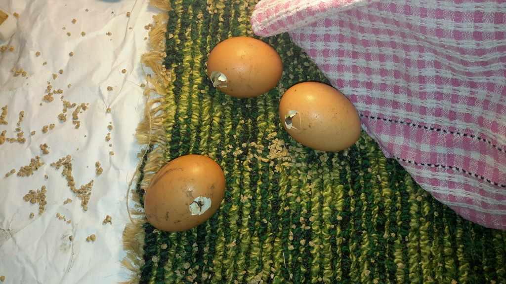 Расклев яиц