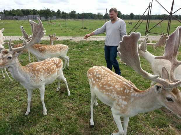 Белохвостые олени на ферме