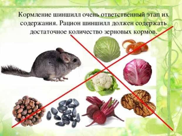 Запрещенные корма для шиншиллы