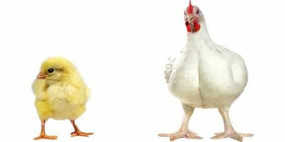 Цыпленок и петух кросса кобб 500