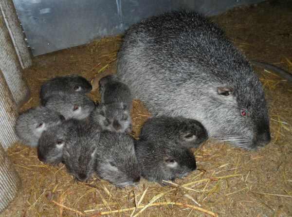 Помет нутрии может иметь до 8 щенков